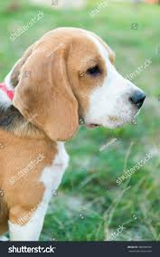 Portrait Cute Beagle Dog Green Grass Stock Photo 488088592 ... Grumpy Senior Dog In The Backyard Stock Photo Akchamczuk To With Love January 2017 Friendly Ideas In Garden Pricelistbiz Portrait Of Female Boxer Dog Standing On Grass Backyard Lavish Toys For Dogs Toy Organization February Digging Create A Sandbox Just For His Digging I Like Quite Moments Fall Wisconsin Quaint Revival Yesterday Caught My Hole Today Unique Toys Architecturenice Cia Fires Since Sniffing Bombs Wasnt Her True Calling Time A View From Edge All Love Part Two