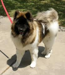 Do Akita Dogs Shed Hair by Long Haired Akita U003c3 So Beautiful Favorite Doggies Pinterest