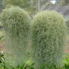 tillandsia arten pflege der pflanze pflanzenfreunde