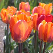 princess irene tulip is orange with purple flames looks great