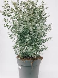 eukalyptus gunnii