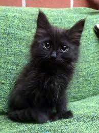 bombay cats i dont like 90 of cats but i to admit i bombay cats 3