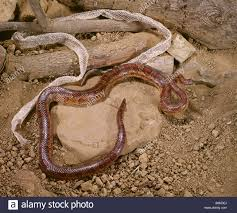 Corn Snake Shedding Signs by Corn Snake Red Rat Snake Red House Snake Or Red Chicken Snake