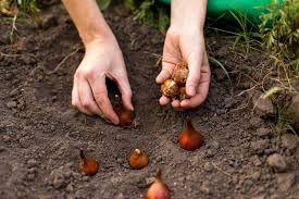 alaskans go forth and plant bulbs anchorage daily news