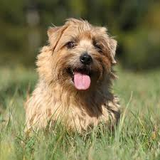 100 best border terriers dogs images on pinterest terrier dogs