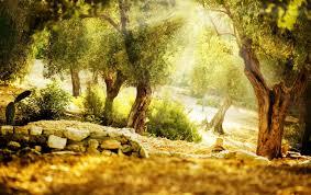 Sunbathed Olive Garden wallpapers