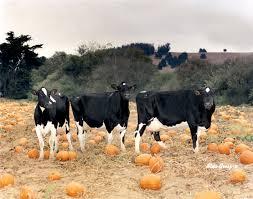 Woodside Pumpkin Festival by Mooove Over To Mcclelland U0027s Dairy Pumpkin Patch