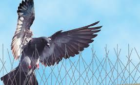 pigeon pest
