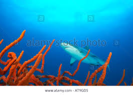 Gray Reef Shark Truk Lagoon Stock Photo, Royalty Free Image: 5303508 ... Books Dive Truk Lagoon The Japanese Wwii Pacific Shipwrecks Exterior Of Sunken Ship Fujikawa Maru Chuuk Ferated With Diverse Travel Ultimate Wreck Divers Haven Largest Graveyard Ships In The World 17 Pics Abandoned Tank Undwater Micronesia 1600x1068 Split Image Staghorn Coral Acropora Sp And Island Lagoon Dauntless Over Japan Expedition Hollis Diver Magazine Trevally On Seiko Shipwreck Stock Aircraft Midships Hold Scuba Diving Shipwreck Photos