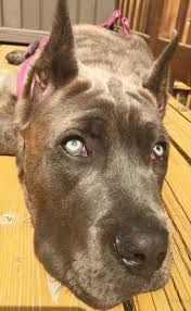 Cane Corso Mastiff Shedding by 9 Best Pets Images On Pinterest Brindle Cane Corso Canes And