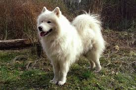 American Eskimo Shedding Problem by What Is The Best Dog Food For A Samoyed Dog Food Guru