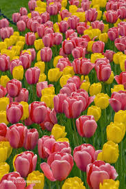 tulip tulip bulbs for sale colorblends flowers