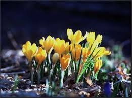 crocus bulb crossword crocuses send up some of the