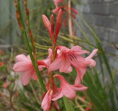 florez nursery watsonia