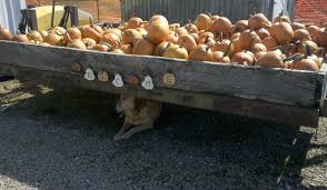 Maze Pumpkin Patch Evansville In cates farm in henderson open for fall fun photos