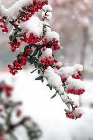 Winterberry Christmas Tree Farm by 154 Best Berries And More Berries Images On Pinterest