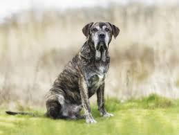 Cane Corso Mastiff Shedding by Top 10 Dumbest Dog Breeds Ever And You Thought They Were Clever