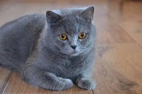 shorthair cat price shorthair cat average price 1100 span 12 13