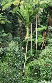 Christmas Tree Species Nz by Nikau Wikipedia