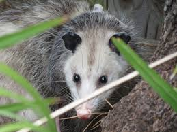 All Posts - Sarasota And Bradenton's Most Highly Recommended ... All About Opossums Wildlife Rescue And Rehabilitation Easy Ways To Get Rid Of Possums Wikihow Animals Articles Gardening Know How 4 Deter From Your Garden Possum Hashtag On Twitter Removal Living In Sydney Opossum Removal Services South Florida Nebraska Rehab Inc Help Nuisance Repel Gel Barrier Sealant For Squirrels And Raccoons To Of Terminix