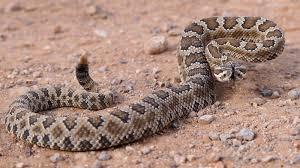 rattlesnake ground ngsversion 1396531205984 jpg