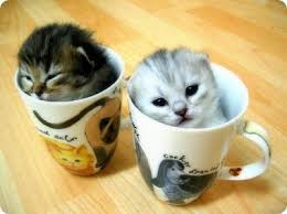 tea cup cat tea cup kitten anyone pet wellbeing