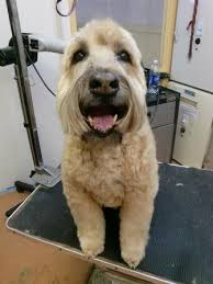 Do Wheaten Terriers Shed by Soft Coated Wheaten Terrier Breed Information History Health