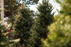 Best Smelling Type Of Christmas Tree by Christmas Trees Heidrich U0027s Colorado Tree Farm Nursery