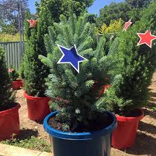 Potted Christmas Trees For Sale by Caring For Your Potted Christmas Tree The Christmas Tree Truck