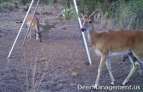 Deer Antler Shedding Cycle by Cactus Bucks Keep Velvet Covered Antlers Year Round Deer Management
