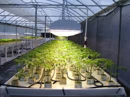 from abigail s desk hydroponic tomato producer grows big with
