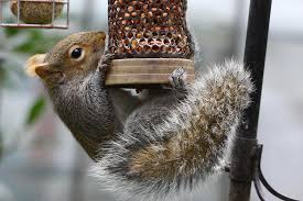 5 things you need to do to rid your gardens of squirrels