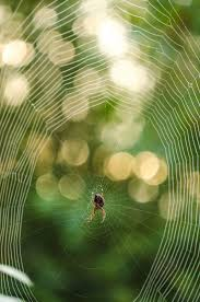 411 Best Spiders Images On Pinterest | Spider Webs, Spiders And Nature Spiders At Spiderzrule The Best Site In World About Spiders 5 Venomous Found Colorado Outthere 109 And Webs Images On Pinterest Nature Ohios Biting Spidersrule The Barn Spider Pets Cute Docile Bug Eric Sunday Western Spotted Orbweaver Araneus Gemmoides Wikipedia Poisonous Georgia