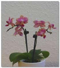 mini orchidée description et soins spécifiquesentretenir une orchidée