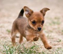 best 25 chihuahua mix ideas on pinterest chihuahua mix puppies