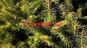 Fresh Cut Christmas Trees At Menards by What Types Of Christmas Trees Are There Youtube