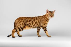 cat bengal cat breed information buying advice photos and facts