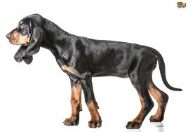 Do Redbone Coonhounds Shed by Coonhound Dog Breed Information Buying Advice Photos And Facts