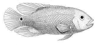 Tilapia A Freshwater Fish Of Tropical Lakes
