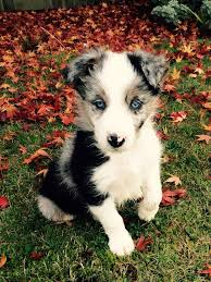 do blue heeler border collies shed best 25 border collie blue merle ideas on blue merle