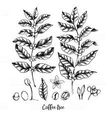 Hand Drawn Vector Illustrations Coffee Tree And Beans Herbal Plant In Sketch Style