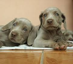 Do Long Haired Weimaraners Shed by Weimaraner Dogs Weimaraner Dog Breed Info U0026 Pictures Petmd