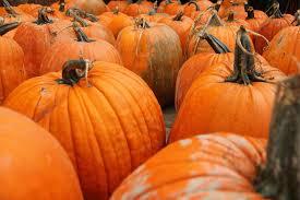 Best Pumpkin Apple Picking Long Island Ny by Long Island Pumpkin Picking Guide 2017