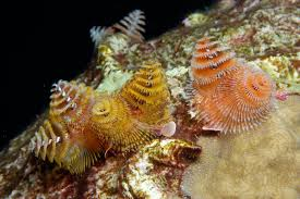 Christmas Tree Species Name by Worms Of Flower Garden Banks National Marine Sanctuary