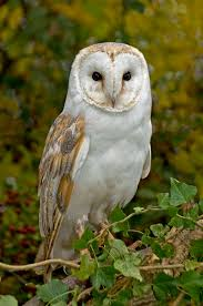 """Beautiful-wildlife: """" Barn Owl By Ronald Coulter """" 