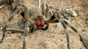 siege social aldi venomous spider may be in the uk after arriving on aldi bananas