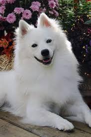 Toy American Eskimo Dog Shedding by American Eskimo Dog Small Dog Breeds Dbcentral