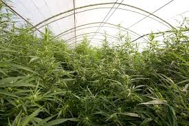 plantes de cannabis de dinafem en extrieur et en serre appartenant