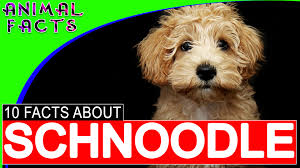 Do Pocket Puggles Shed by Schnoodle Dogs 101 10 Facts About Schnoodles Schnoodle Dog