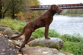 Chesapeake Bay Retriever Molting by Chesapeake Bay Retriever All Big Dog Breeds